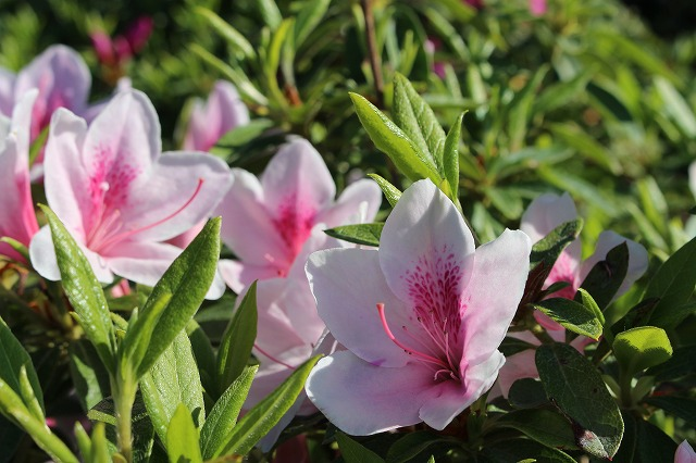 寒河江公園 つつじの花