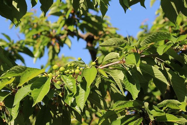 摘果作業前の枝