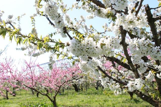 佐藤錦と桃の花