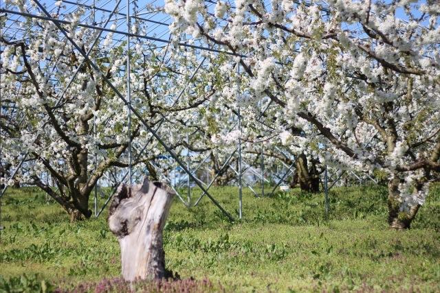 さくらんぼの花 満開