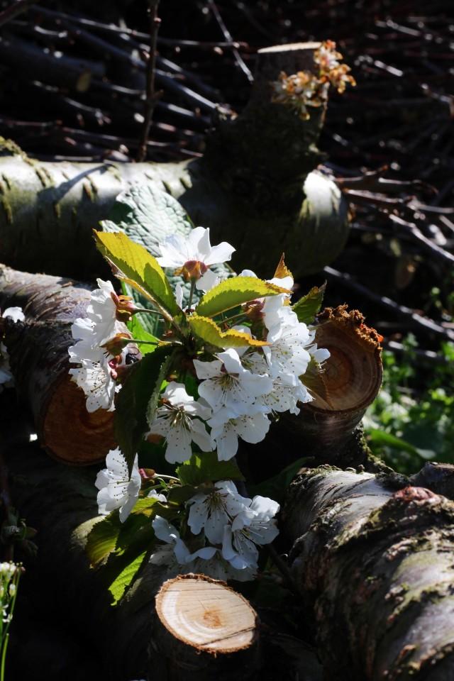 剪定された太枝にもさくらんぼの花 満開