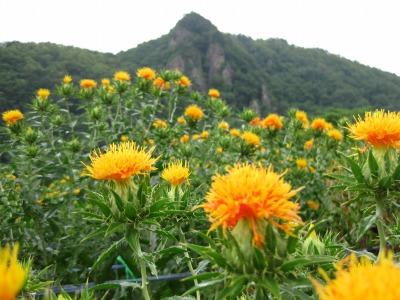 高瀬地区の紅花