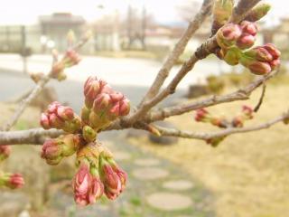 開花直前のさがえ屋桜